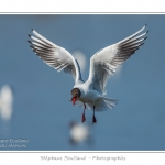 Mouette rieuse ( Chroicocephalus ridibundus - Black-headed Gull ) - Saison : Printemps - Lieu : Le Crotoy, Baie de Somme, Somme, Picardie, France