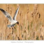 Mouette rieuse ( Chroicocephalus ridibundus - Black-headed Gull ) - Saison : Printemps - Lieu : Le Crotoy, Baie de Somme, Somme, Picardie, France