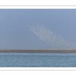 Nuage de bécasseaux en vol (Probable : Bécasseau variable, Calidris alpina - Dunlin) en réserve naturelle de la  baie de Somme