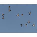 Vol de canards Pilets (Anas acuta - Northern Pintail) dans la réserve naturelle de la Baie de Somme