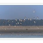 Vol de Tadornes de Belon (Tadorna tadorna - Common Shelduck) dans la réserve naturelle de la Baie de Somme