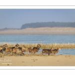 Mouflons (Mouflon corse, Ovis orientalis musimon) ayant trouvé refuge dans la réserve naturelle en baie de Somme un jour de chasse