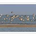 Envol d'huitriers-pies (Haematopus ostralegus, Eurasian Oystercatcher) dans la réserve naturelle de la baie de Somme