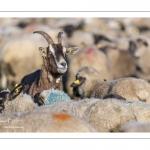 France, Somme (80), Baie de Somme, Le Crotoy, moutons de prés-salés en baie de Somme au printemps; à cette époque de l'année, les moutons ont encore leur laine et les agneaux sont encore de petite taille; quelques chèvres accompagnent le troupeau pour le guider dans les mollières // France, Somme (80), Bay of the Somme, Le Crotoy, salt-meadow sheep in the Bay of Somme in spring; at this time of year, sheep still have their wool and lambs are still small; a few goats accompany the flock to guide him in the meadows