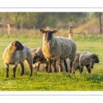 Moutons de pré salés en baie de Somme