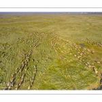 Moutons de prés-salés en baie de Somme (vue aérienne)