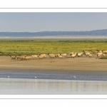 Moutons d'estran venus boire dans le chenal de la Somme