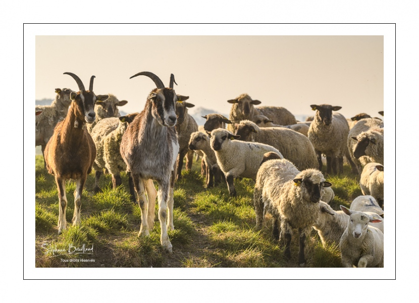 moutons de prés-salés qui rejoignent les mollières