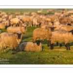 moutons de prés-salés en pâture pendant les grandes marées