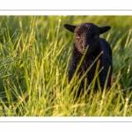 moutons d'Ouessant (race bretonne) avec de jeunes agneaux