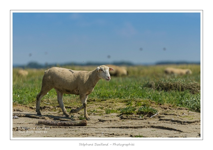 Moutons_21_08_2015_006-border