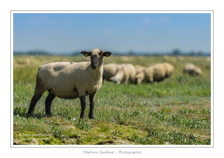 Moutons_21_08_2015_021-border