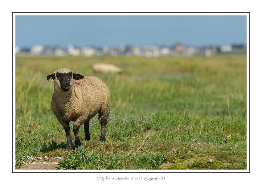 Moutons_21_08_2015_023-border