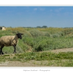 Moutons_21_08_2015_004-border