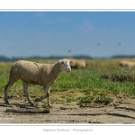 Moutons_21_08_2015_006-border