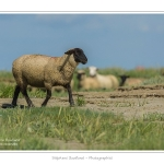 Moutons_21_08_2015_015-border