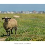 Moutons_21_08_2015_023-border