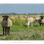 Moutons_21_08_2015_024-border