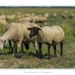 Moutons_21_08_2015_025-border