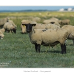 Moutons_21_08_2015_030-border