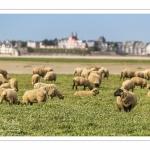 Moutons de prés-salés au Cap Hornu dans les Mollières