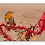 Oiseaux du jardin et décorations de Noël (boules, guirlandes,...) Saison : Hiver - Lieu : Marcheville, Somme, Picardie, France
