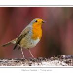 Rougegorge familier - Erithacus rubecula - European Robin - Saison : hiver - Lieu : Marcheville, Somme, Picardie, France
