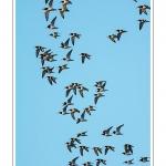 Huitriers-pies en vol en baie de Somme. A marée haute, on peut observer une multitude d'oiseaux. Ces grand groupes d'oiseaux se déplacent au fur et à mesure que descend la marée pour aller se nourrir sur les zones nouvellement dégagées.Saison : Hiver - Lieu : Baie de Somme,Plages de la Maye, Le Crotoy, Somme, Picardie, France