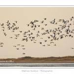 A marée haute, on peut observer de grands rassemblements de tadornes de belon en baie de Somme.  Au fur et à mesure que la marée descend, de grands groupes d'oiseaux se déplacent pour chercher leur nourriture dans les zones juste découvertes. Saison : Hiver - Lieu : Baie de Somme,Plages de la Maye, Le Crotoy, Somme, Picardie, France