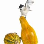 Mésange nonnette - Poecile palustris - Marsh Tit