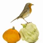 Rougegorge familier -  Erithacus rubecula - European Robin