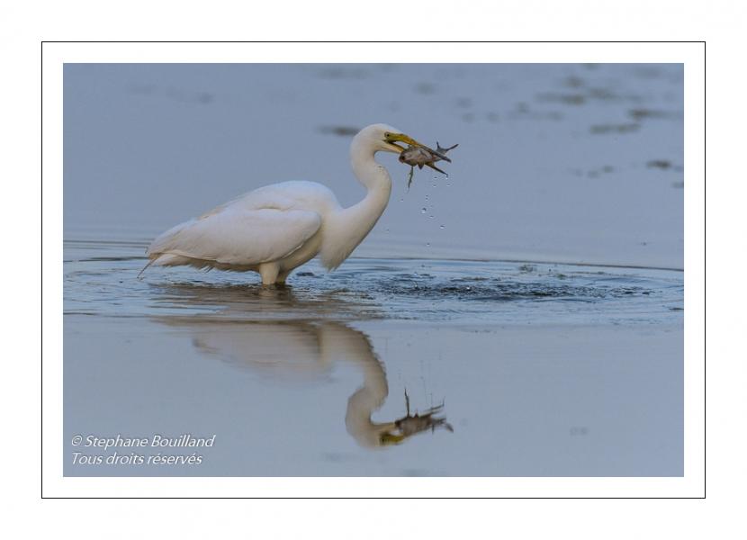 Grande Aigrette (Ardea alba - Great Egret)