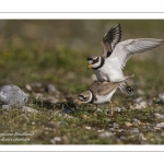 Accouplement de grands gravelots (Charadrius hiaticula)