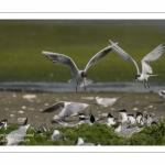 Sterne caugek (Thalasseus sandvicensis - Sandwich Tern)