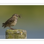 Pipit farlouse - Anthus pratensis - Meadow Pipit