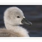 Cygneau - Cygnon - Cygne tuberculé (Cygnus olor - Mute Swan)