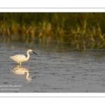 Aigrette garzette (Egretta garzetta - Little Egret)