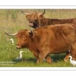 Vaches Highland Cattle (écossaises) pour l'entretien du marais