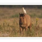 Héron garde-boeufs (Bubulcus ibis - Western Cattle Egret)