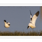 Avocette élégante (Recurvirostra avosetta - Pied Avocet)