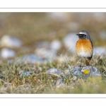 Rougequeue à front blanc (Phoenicurus phoenicurus - Common Redstart)