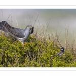 Coucou gris (Cuculus canorus - Common Cuckoo)