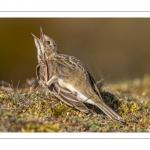 Pipit farlouse (Anthus pratensis - Meadow Pipit)