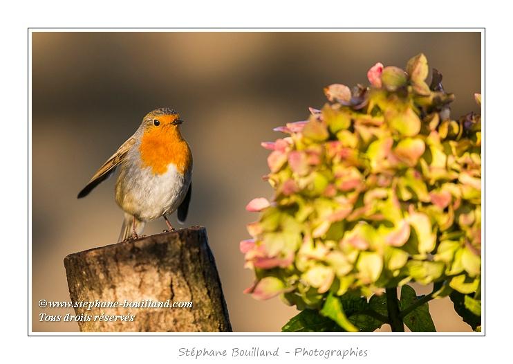Rougegorge familier (Erithacus rubecula - European Robin) - Rouge-gorge perché sur une bûche près d'une fleur d'hortensia - Saison : Hiver - Lieu : Marcheville, Somme, Picardie