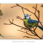 Mésange bleue (Cyanistes caeruleus - Eurasian Blue Tit) - Saison : Hiver - Lieu : Marcheville, Somme, Picardie
