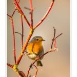 Rougegorge familier (Erithacus rubecula - European Robin) - Saison : Hiver - Lieu : Marcheville, Somme, Picardie