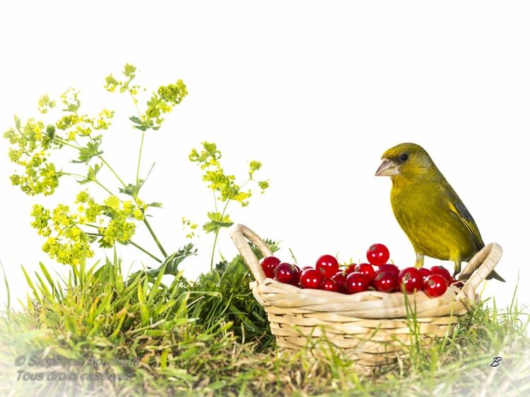 Verdier d'Europe - Chloris chloris - European Greenfinch
