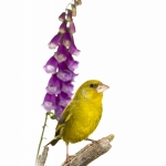 Verdier d'Europe - Chloris chloris - European Greenfinch