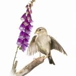 Moineau domestique - Passer domesticus - House Sparrow