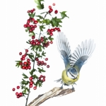 Mésange bleue - Cyanistes caeruleus - Eurasian Blue Tit